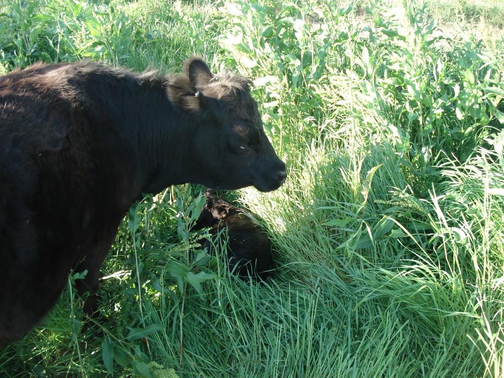 Leila with her calf Ciara