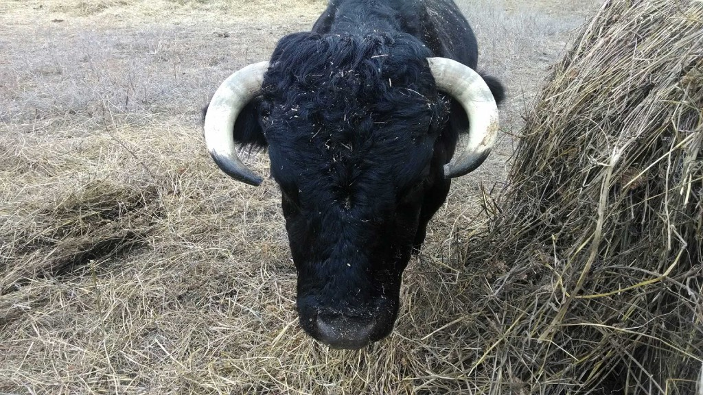 Cedar with his horns trimmed